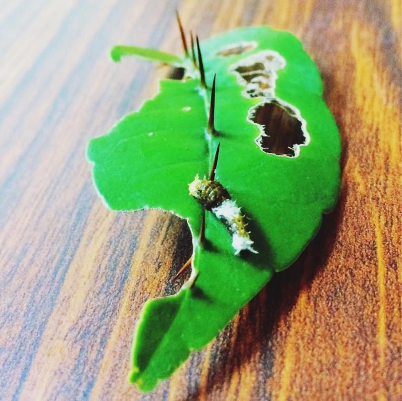 生態誌 雙面刺上的鳳蝶寶寶