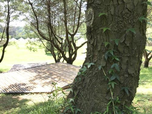 五葉松樹的年齡秘密