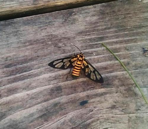 生態誌 偽裝成蜜蜂的鹿子蛾