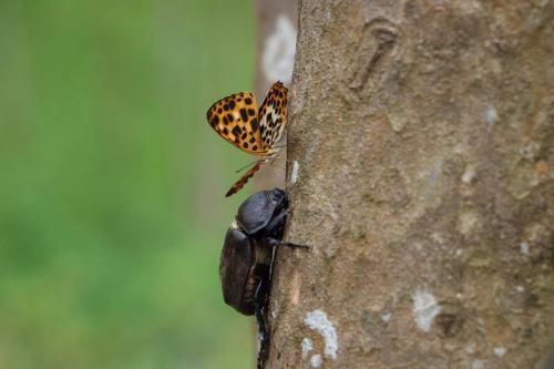 生態誌 好蟲好事代表的獨角仙