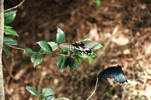 生態誌 大鳳蝶的求偶舞